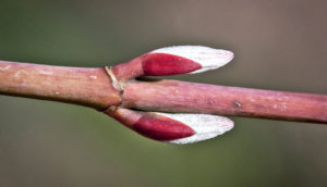 striped maple's spring buds