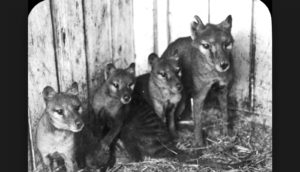 A Thylacine with three cubs at Beaumaris Zoo in Hobart, 1909.