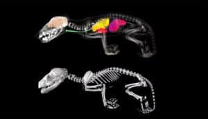 internal structure of Tasmanian tiger joeys