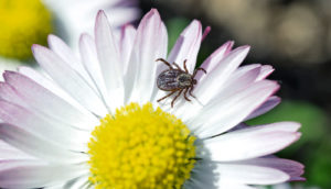 tick on a flower (chronic Lyme disease concept)