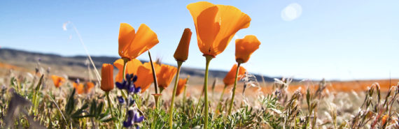 California poppies (seed bank + wildflowers concept)