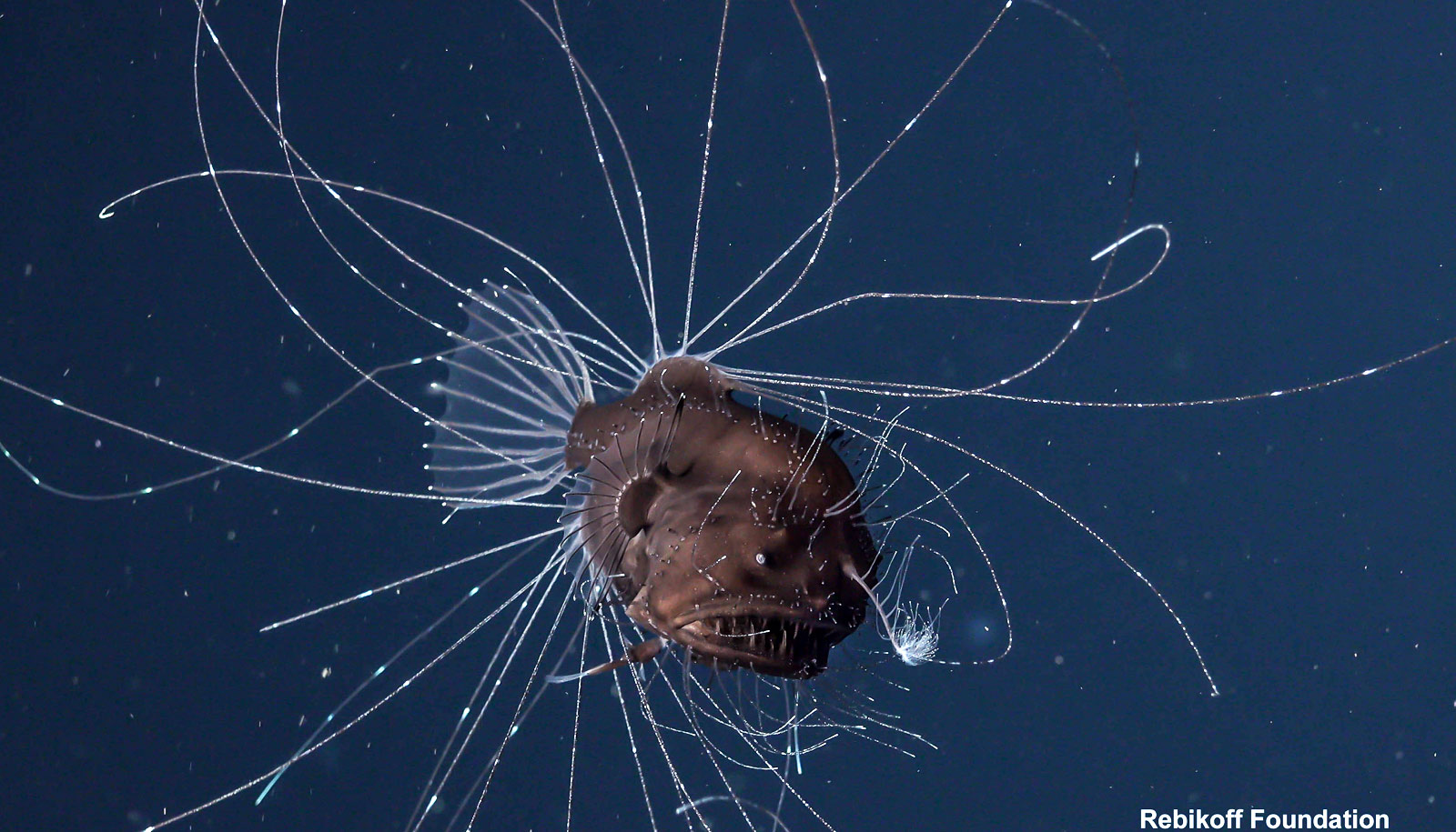 Anglerfish and her 'sexual parasite' seen alive for first time