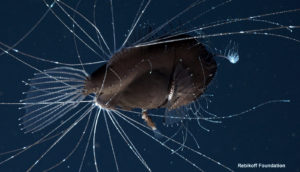 fanfish seadevil