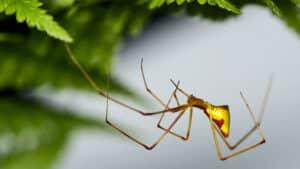 Gold Molokai spider
