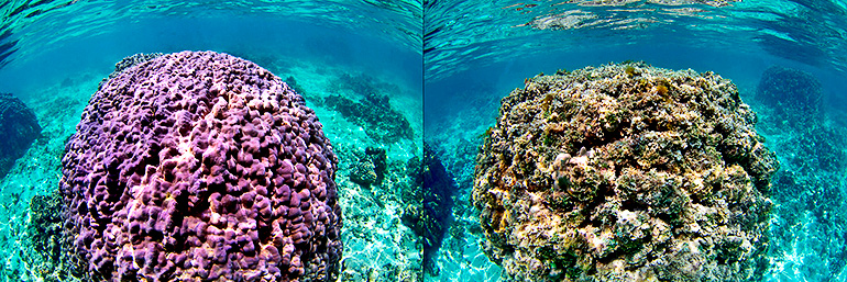 Hawaiian coral comparison