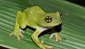 Raorchestes chalazodes frog