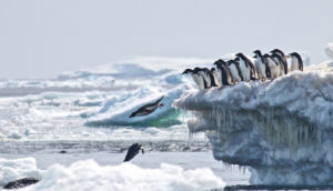 Adélie penguins jump off iceberg