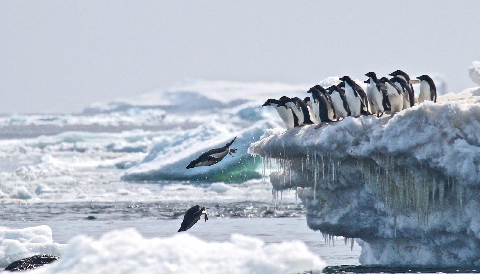 Adélie penguins jump off iceberg