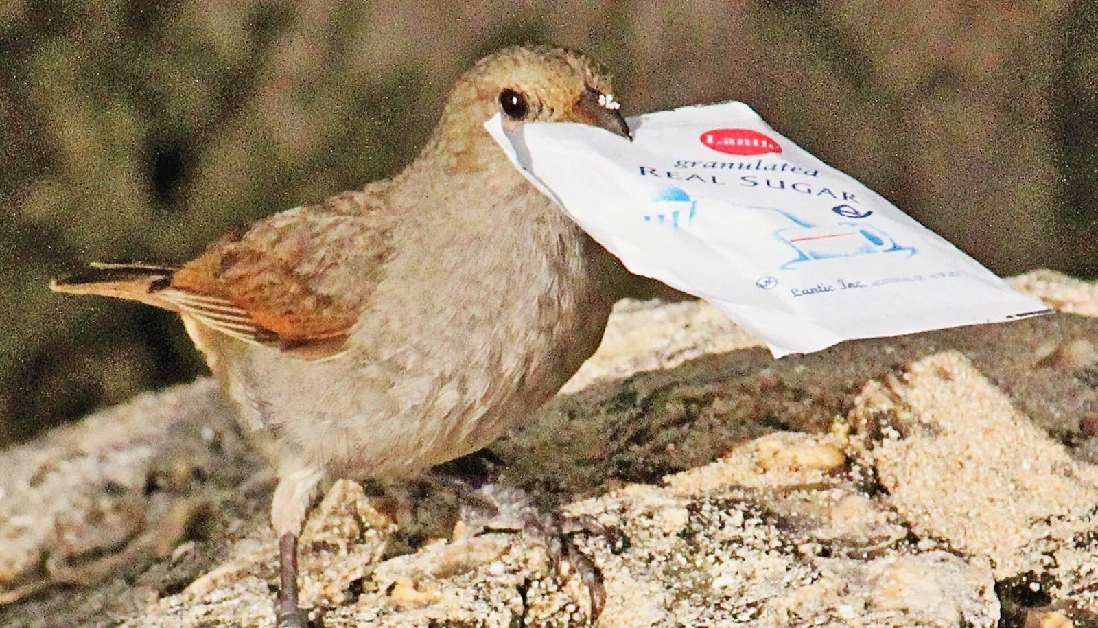 bullfinch opens sugar packet