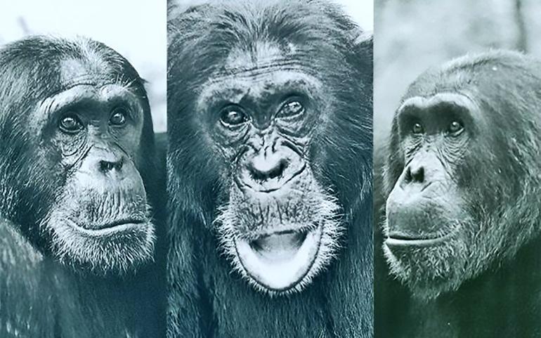 chimp headshots