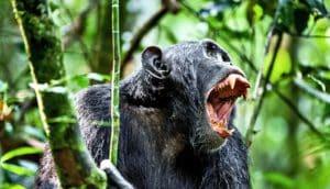 chimpanzee baring teeth