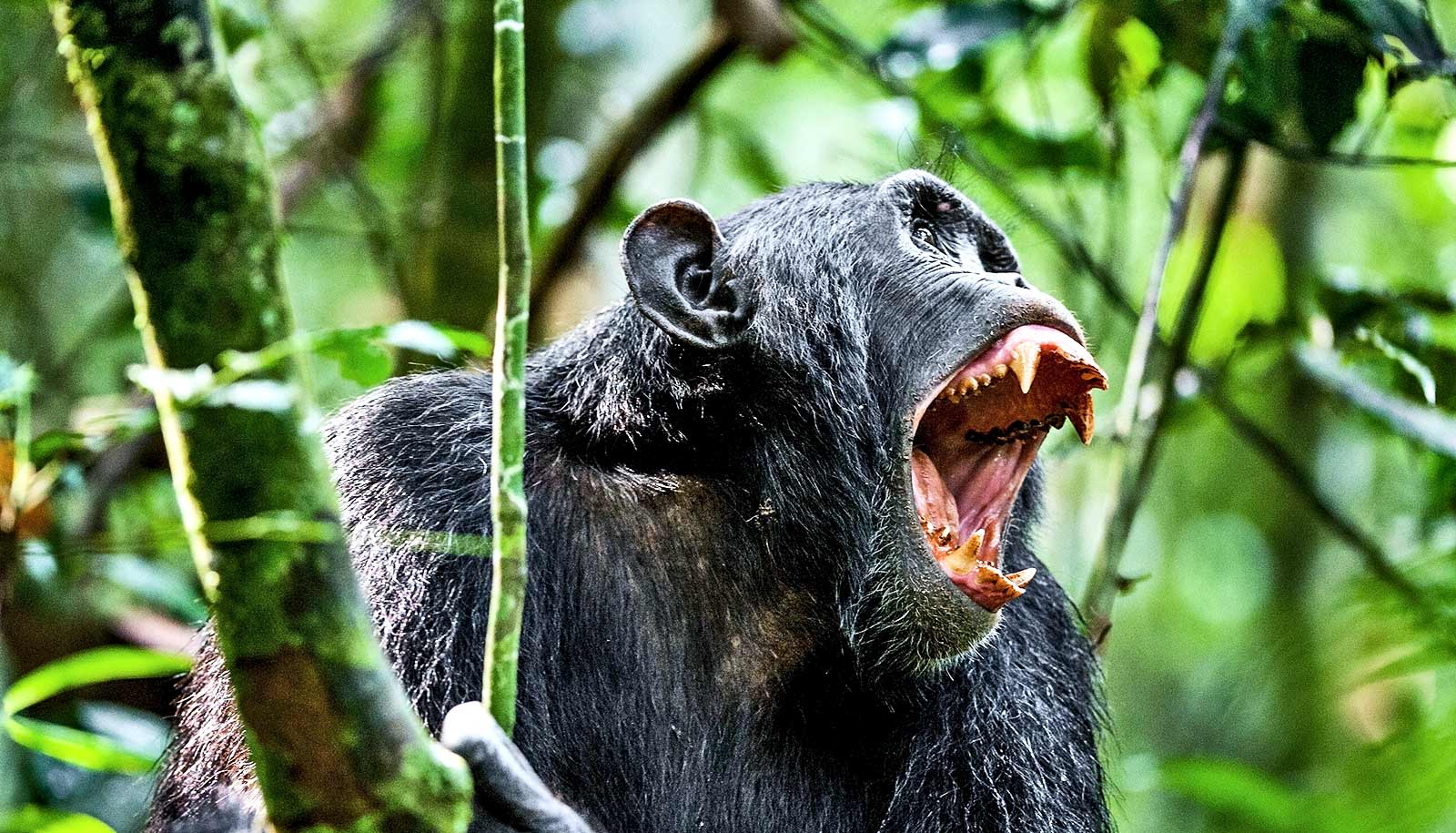 How infighting chimps led to a 4-year 'civil war' - Futurity