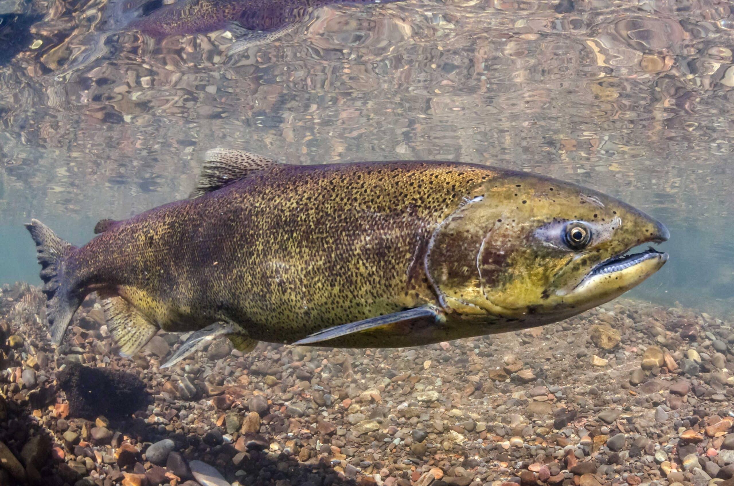 Why West Coast 'king' salmon have vanished - Futurity