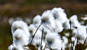 cottongrass in greenland (spring concept)
