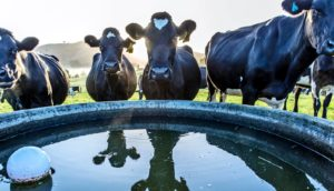 cows around water trough (water troughs concept)