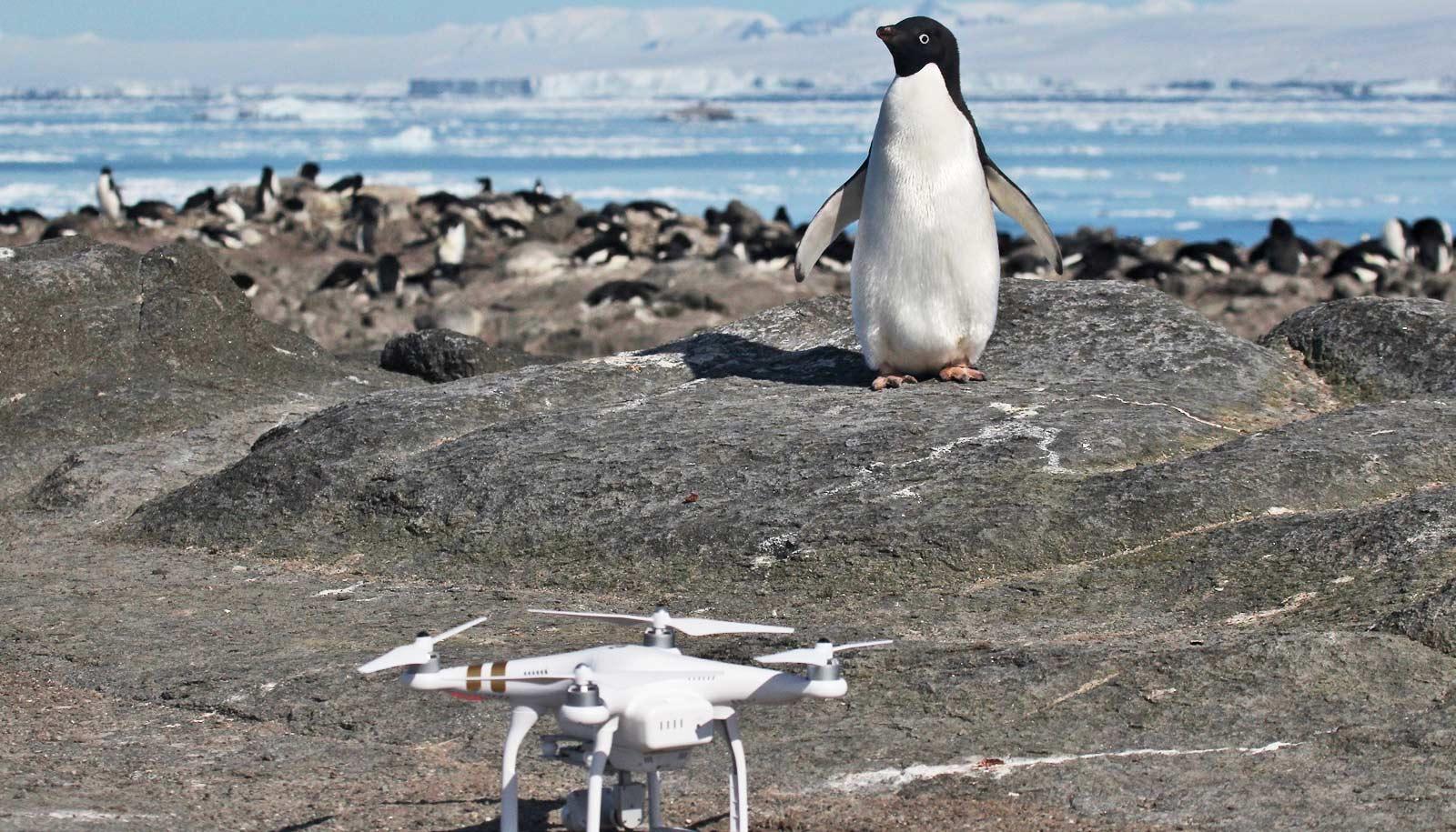 drone and Adélie penguin