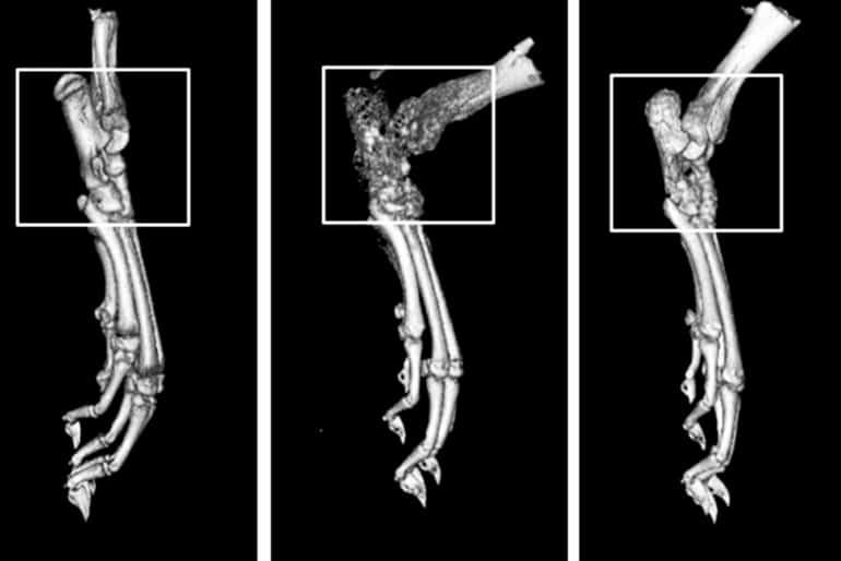 rat paw CT scans