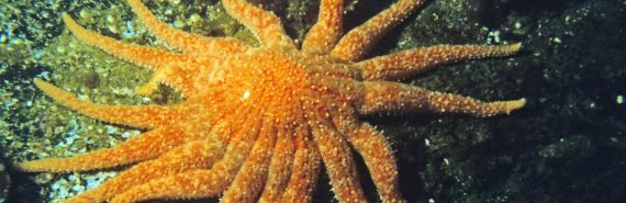 orange sunflower sea star