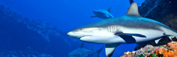 shark near coral reef