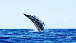 whale breach (ocean mammals concept)