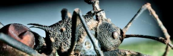 zombie ant fungus (zombie ants concept)