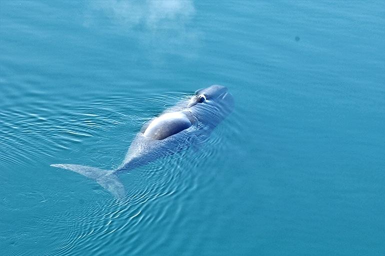 Bowhead whale close-up