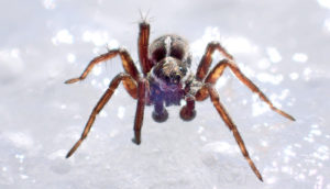 spider on snow - Arctic insects