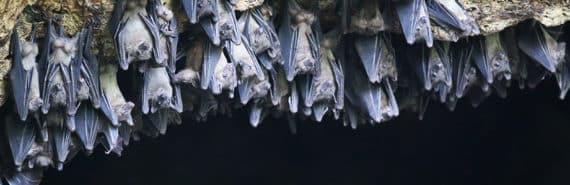 Egyptian fruit bats at Python Cave, Uganda.