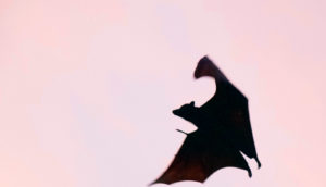flying bat against pink sky