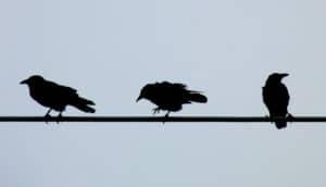 three birds on a wire