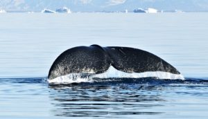 bowhead whales concept image of bowhead whale's tail