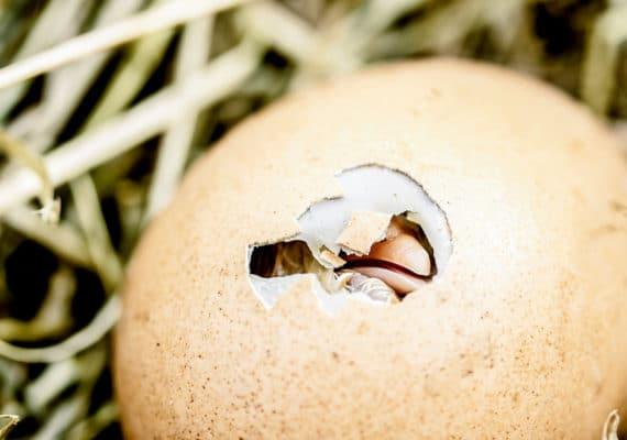 chicken egg hatching -- eggshells