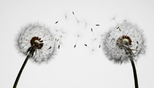 two dandelion puffs on white