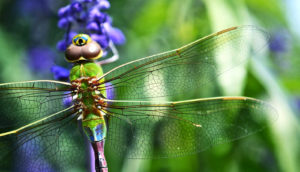dragonfly on flower (polyploidy and evolution concept)