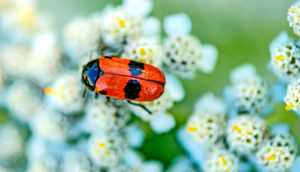 red and black froghopper on flowers