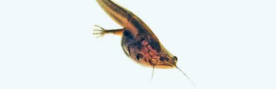 Xenopus laevis tadpole - tadpoles