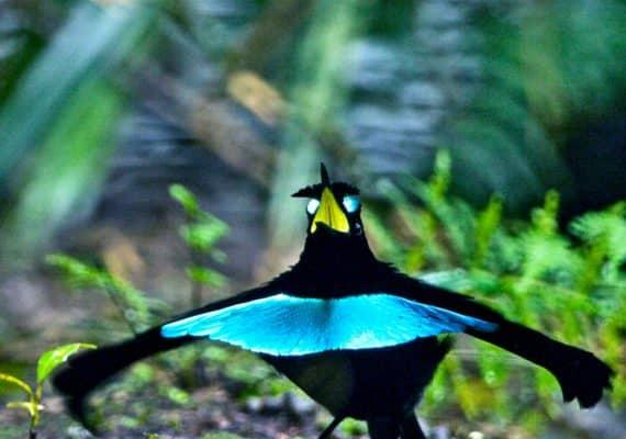 Vogelkop Superb Bird-of-Paradise