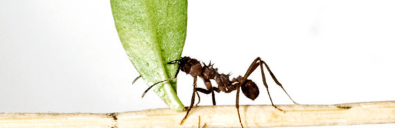 Acromyrmex octospinosus leafcutter ants