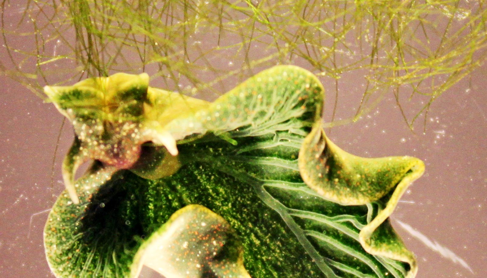 If Sea Slugs Take Eternal Energy From Algae Can We