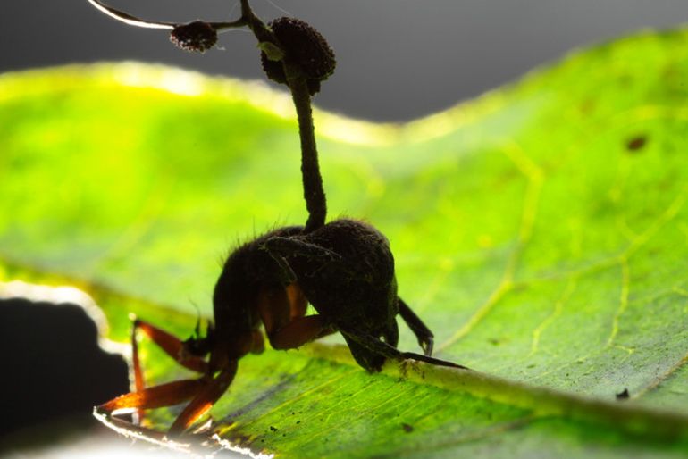 Brazilian carpenter ant with fungal spore protruding from head, biting leaf.