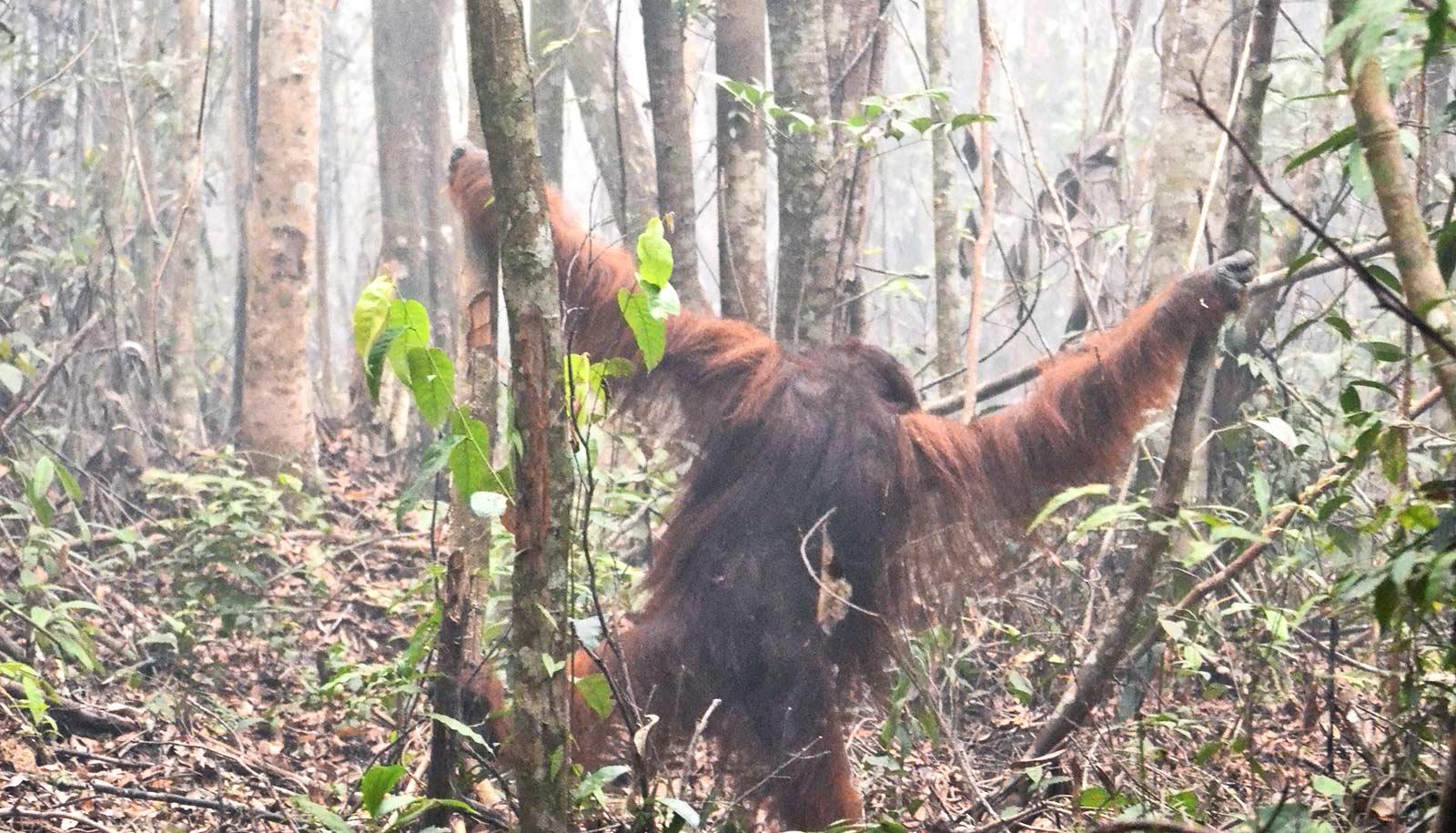 Orangutan in smokey forest