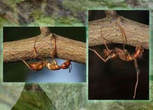 zombie ants grasp twigs