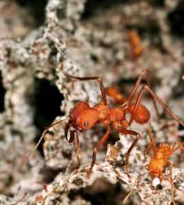 leafcutter ants in fungal garden