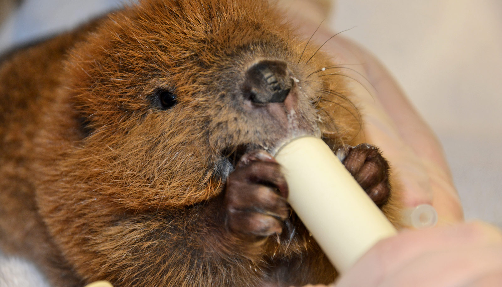 baby beaver being fed by hand