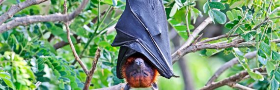 bat hanging upside down (Nipah virus concept)