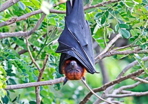 bat hanging upside down (Nipah virus concept)
