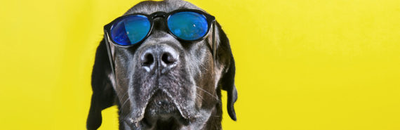 black lab in sunglasses on yellow - visual acuity