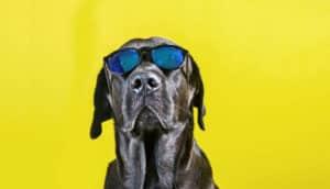 black lab in sunglasses