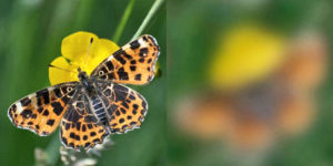 butterfly visual acuity comparison