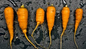 carrots on black - automated greenhouse